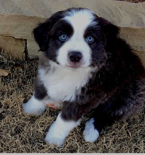 cute puppy with blue eyes
