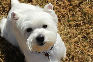 cute westie looking up
