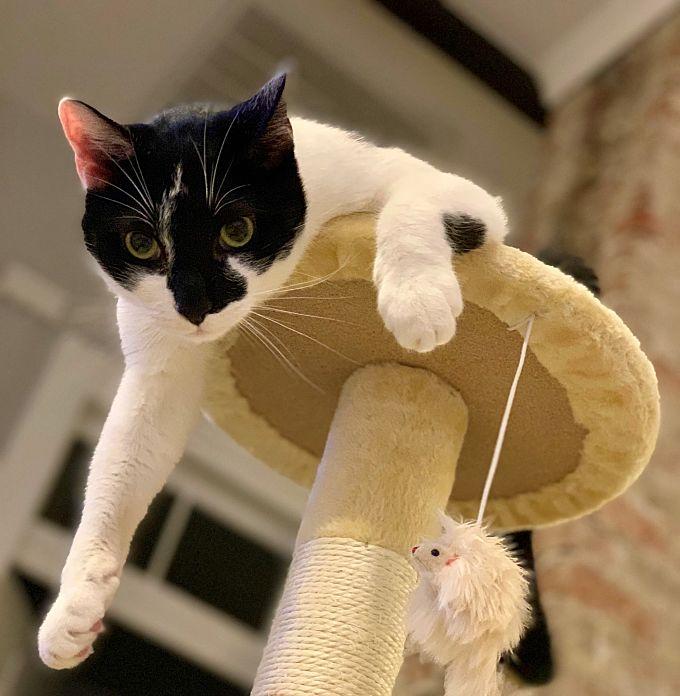 Cody, a black & white cat