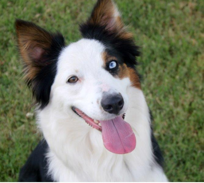 happy looking australian shepherd
