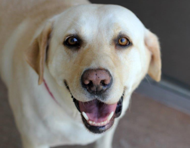 happy looking white lab