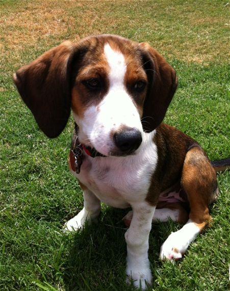 beagle type of dog
