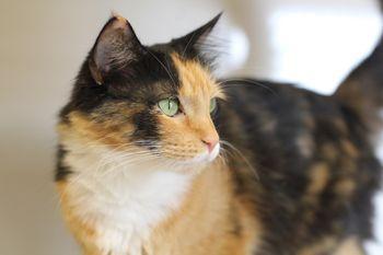 brown and tan cat
