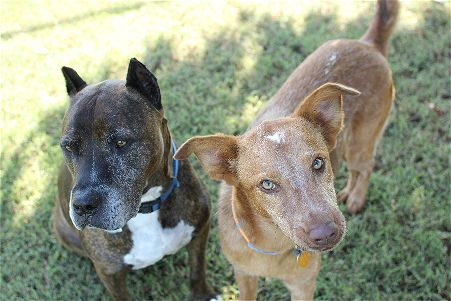 pit bull and brown dog