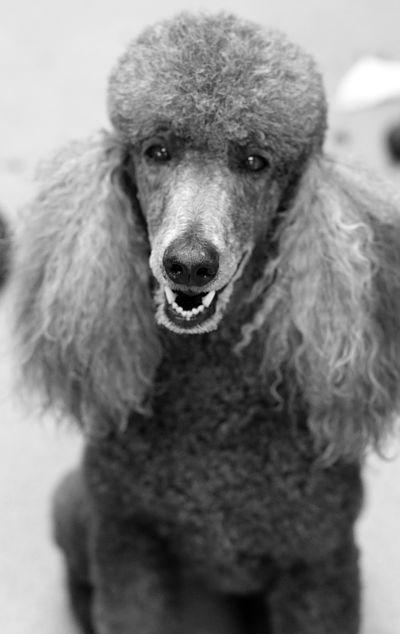 Julia, a groomed standard poodle