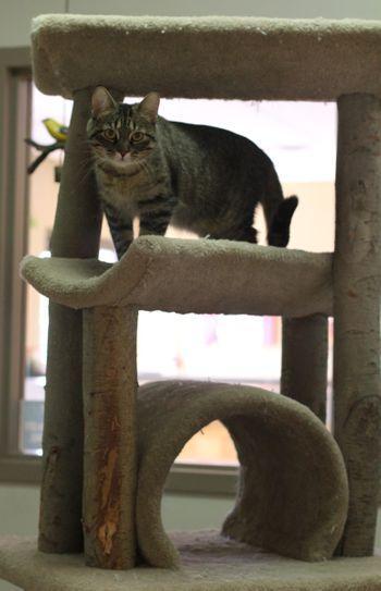 Sophie, gray tabby cat